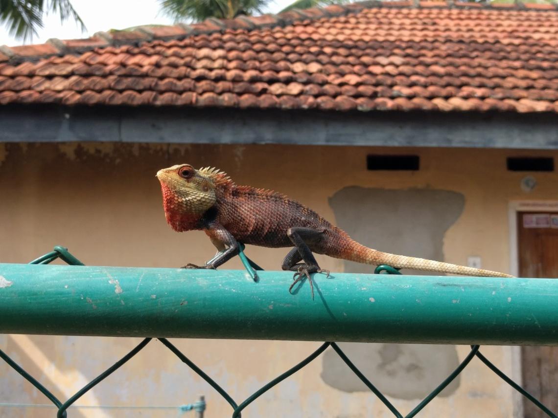 Chameleon Chilling in Mirissa Harbour